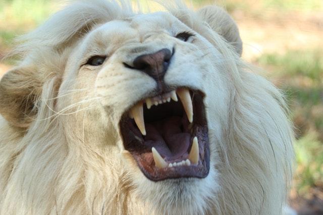lion-teeth-pexels-photo-68421